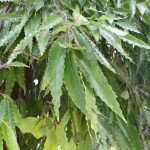 อโศกเซนคาเบรียล, อโศกอินเดียว (Asoke Tree, Asoka, Mast Tree)