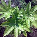 ต้างหลวง (Snowflake plant)