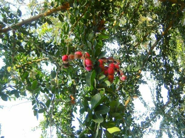 มะขามเทศ (Leguminosae)
