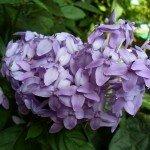 เข็มม่วง (Violet Ixora)