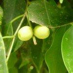 ไทรย้อย (Maclelland Fig)