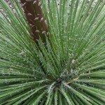 ศรนารายณ์ (Agave, Century Plant)