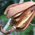 มะฮอกกานีใบใหญ่ (Honduras Mahogany, Baywood)