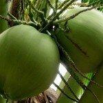 มะพร้าว (Coconut)