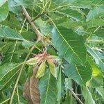 เลียบ (Deciduous Fig)
