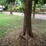 ปีบ (Cork Tree, Indian Cork Tree)
