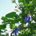 อัญชัน (Asian pigeonwings, Blue Pea, Butterfly Pea)