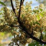 สะเดา (Neem Tree)