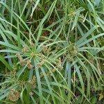 กกลังกา (Umbrella Plant)