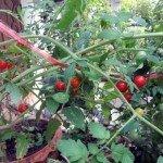 มะเขือส้ม (Wild tomato, Love apple)