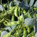 ถั่วเหลือง (Soybean)