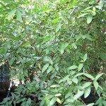 มะดัน (Garcinia schomburgkiana Pierre)