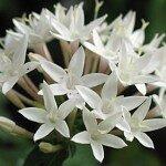 เข็มอินเดีย (Egyptian Star-cluster, Starflower)