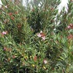 ยี่โถ (Oleander, Rose Bay, Sweet Oleander)