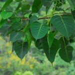 โพศรีมหาโพ (Bodhi Tree, Sacred Fig, Pipal)