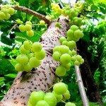 มะยม (Gooseberry Tree, Star Gooseberry)