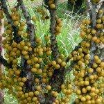 มะไฟ (Burmese grape)