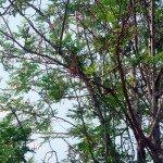 มะรุม (Horse radish tree, Drumstick)