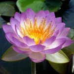 บัว (Lotus, Water Lily)