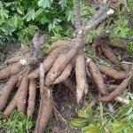 มันสำปะหลัง (Cassava, Yuca, Mandioa, Manioc, Tapioca)