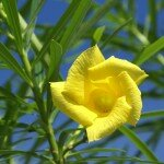 รำเพย (Yellow oleander, Lucky nut, Be-still, Trumpet flower)