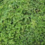 Cayratia-trifolia--amalbel-kattuppirantai-kanupu-tige-Goyale-Lata