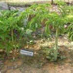 บุก (Amorphophallus  spp.)